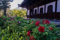 建仁寺~法堂周りに咲く牡丹 - 鏡花水月