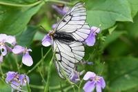 GW後半初日 様々な花でウスバアゲハ Byヒナ - 仲良し夫婦DE生き物ブログ