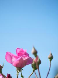 いつかバラのように - 節操のない写真館