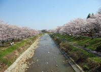 八王子よいとこ/浅川ゆったりロードの桜-4 - 八王子見て歩記