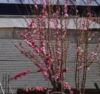 花桃の花色が・・・もしかしたら二色咲き? - 窓の向こうに