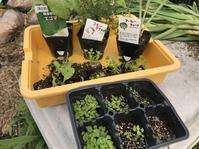 夏野菜の定植ラッシュがほぼ完了! - 家庭菜園ニストabuさん家の美味あれこれ