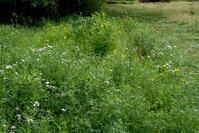 初夏の草むら - オバサンが行く ヒマラヤの青いけしの旅/改め   時々蔵王の花たち