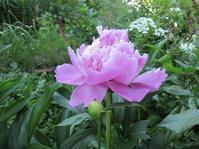 シャクヤクが咲き始めました。 - 花の自由旋律