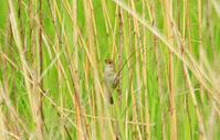 今年もオオセッカがやって来た - barbersanの野鳥観察