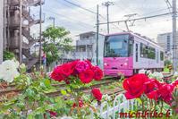 ばらの花と都電 - 風景写真家 鐘ヶ江道彦のフォトブログ