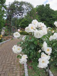 バラの季節-15 [花博記念公園鶴見緑地バラ園] - 感性の時代屋 Vol.2