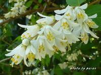 ウツギ(空木)の花が咲き出してきました。 - デジカメ散歩悠々
