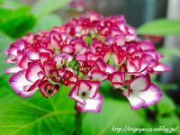 あ、紫陽花咲いてる - 丁寧な生活をゆっくりと2
