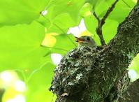 蔵出し画像!コサメビタキ・ノジコ22日、今日は雨でしたので自宅謹慎、二日坊主です。 - 鳥撮り日誌