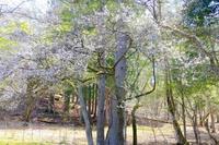 桜 - カエルのバヴァルダージュな時間