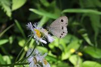 ■ 春の蝶 3種   18..5.12   (ヒメウラナミジャノメ、テングチョウ、キタテハ) - 舞岡公園の自然2