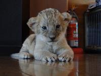 こんにちは!!赤ちゃんライオン - aws0607の写真コーナー