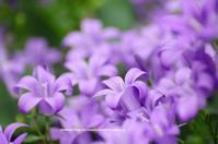 自宅庭のミリオンベル - azure 自然散策 ~自然・季節・野鳥~
