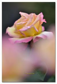 薔薇 ピース - toru photo box