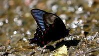 初夏その1 - 紀州里山の蝶たち