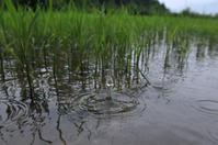 雨の田畑 - 農と自然のさんぽみち・やまだ農園日記