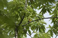 雑木林で~キビタキ、オナガアゲハ、クロアゲハ - チョウ!お気に入り