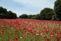 花の丘からシャーリーデージー*昭和記念公園 - 鴉の独りごと