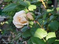 Otras rosas antes de llover. - Gardener*s Diary