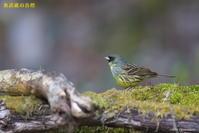 撮った鳥全部シリーズ - 奥武蔵の自然