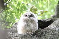 フクロウの巣立ち後の様子を見に - 私の鳥撮り散歩