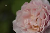 今年はバラがすごいことになっています part1 - CHIROのお庭しごと