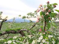 りんごの花:弘前市りんご公園*2018.05.12 - 津軽ジェンヌのcafe日記