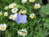 種まきフラックス・ブルー開花! - bowerbird garden ~私はニワシドリ~