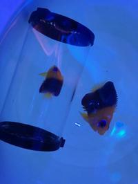 ハワイ&ココス!! - アクアタイムズエアー[海水魚・サンゴのブログ]