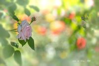 The Rose *** - Berry's Bird