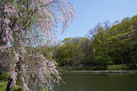 2018'sakura さくら桜(月寒公園) - お茶にしませんか