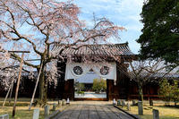 桜咲く京都2018しだれ桜咲く妙覚寺 - 花景色-K.W.C. PhotoBlog