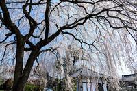 桜咲く京都2018 本満寺のしだれ桜 - 花景色-K.W.C. PhotoBlog