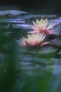 Water Lily - kzking1963 Digital Photo Diary