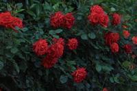 La Vie en rose 12 - IL EST TROP TARD     時は過ぎゆく ...