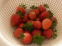 イチゴ、ついにそこそこの収穫! - ミジンコ農園
