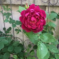 Erinnerung an Schloss Scharfenstein - Mayumin's rose garden&table 小さな秘密の花園で