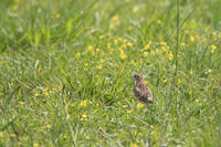 田んぼにいた鳥たち - うちのまわりの自然新聞
