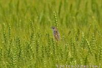 麦セッカ - 気ままな生き物撮り