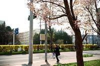 桜と中央分離帯の連翹と義母の命日 - 照片画廊