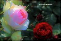薔薇の街福山と 母の日 - 今が一番