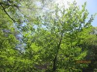 5月の風、吹きわたります。 - 宮迫の! ようこそヤマボウシの森へ