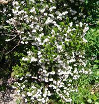白い花で覆われているかのようです,スズランエリカ - 楽餓鬼