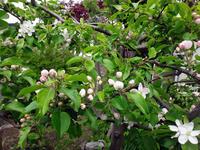 姫リンゴ、ブルーベリー、木瓜の花など - 窓の向こうに