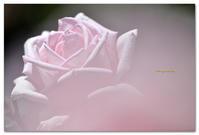 薔薇 メルヘンケニギン - toru photo box