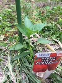 夏野菜の植え付け④ピーマン類 - 楽園生活