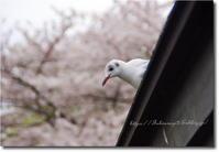 圧倒的桜。2018 - 月うさぎ