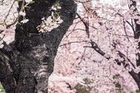 桜色の染まるオレ - 日々是好日 Here comes the sun.