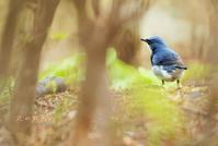 コルリ - 北の野鳥たち